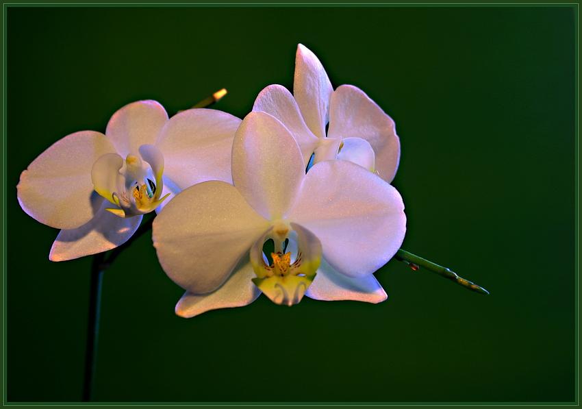 Orchid season. III