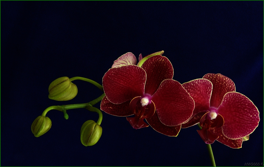 Orchid season XV