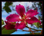 Orchid Tree Blossom