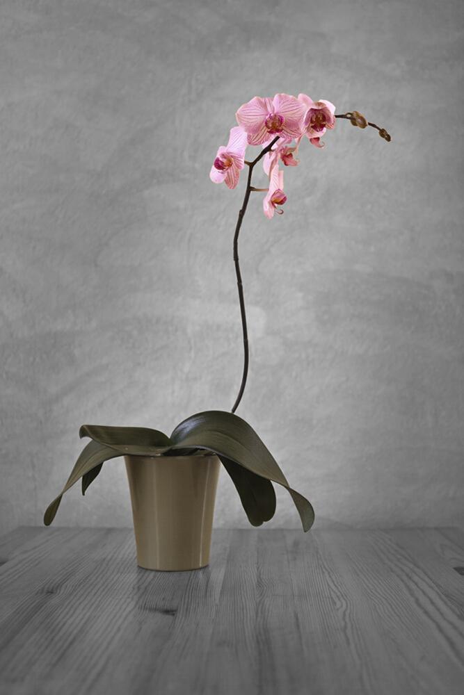 Orchidaceae (Orchidee) Phalaenopsis