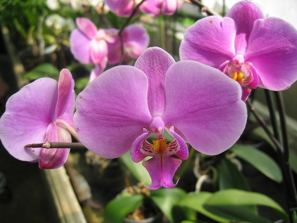 Orchidé