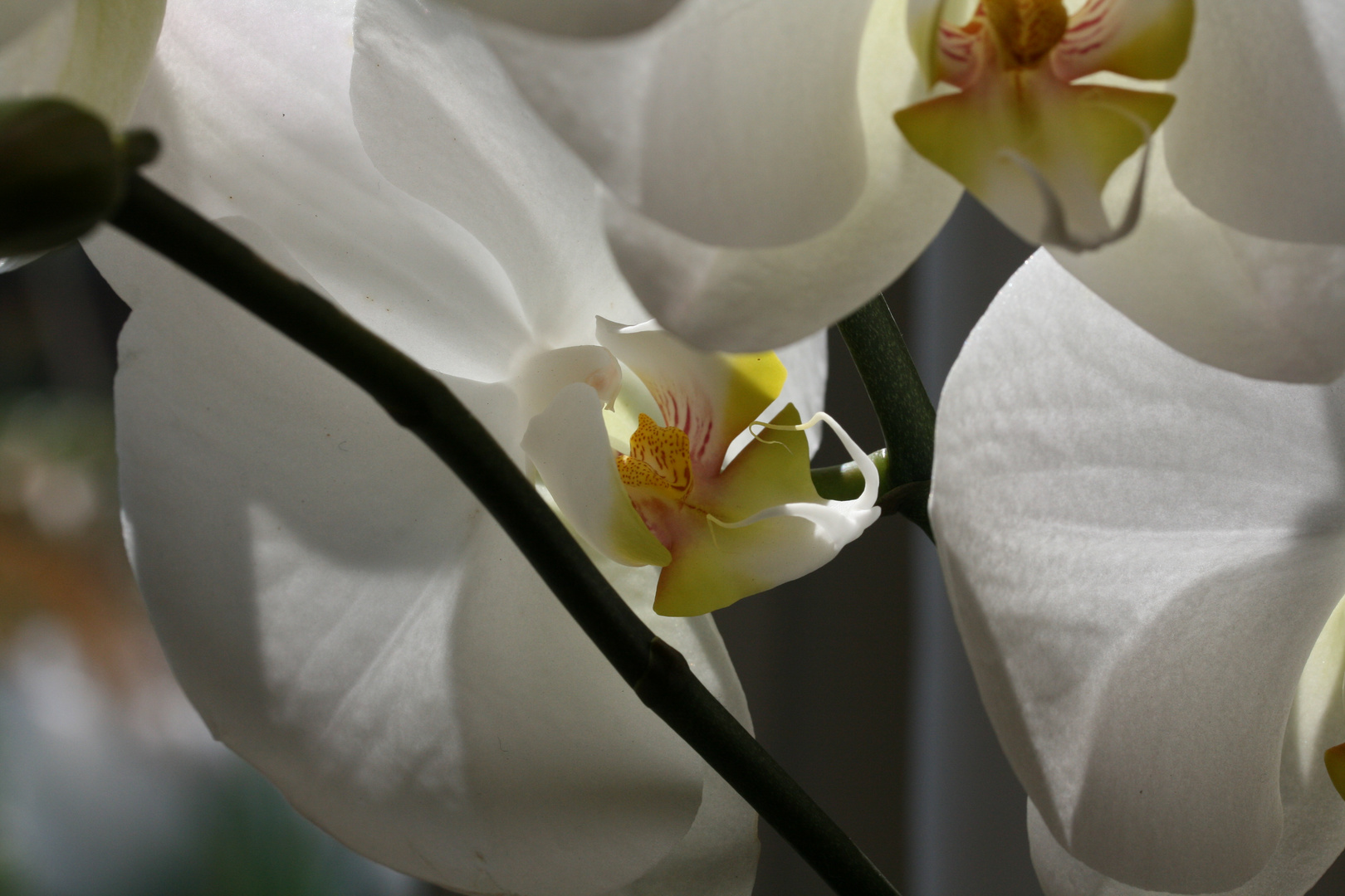 orchidé enchevêtrée