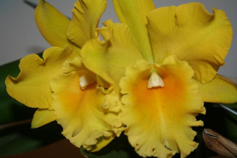 Orchide gelb 01