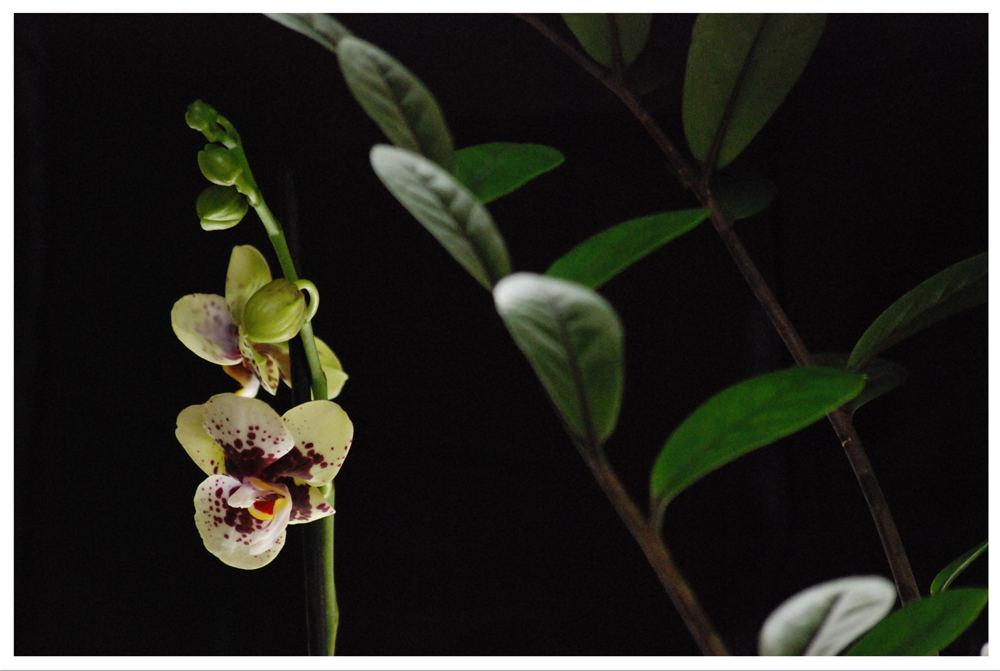 Orchide l