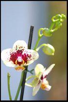Orchide ll