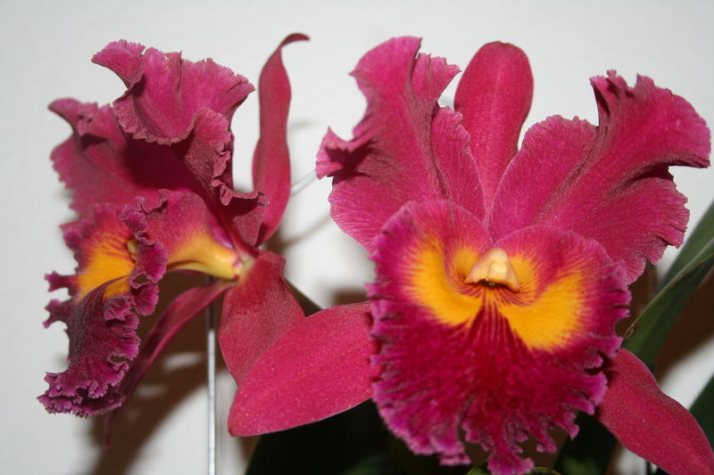 Orchide rot 02