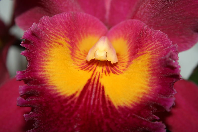 Orchide rot 03