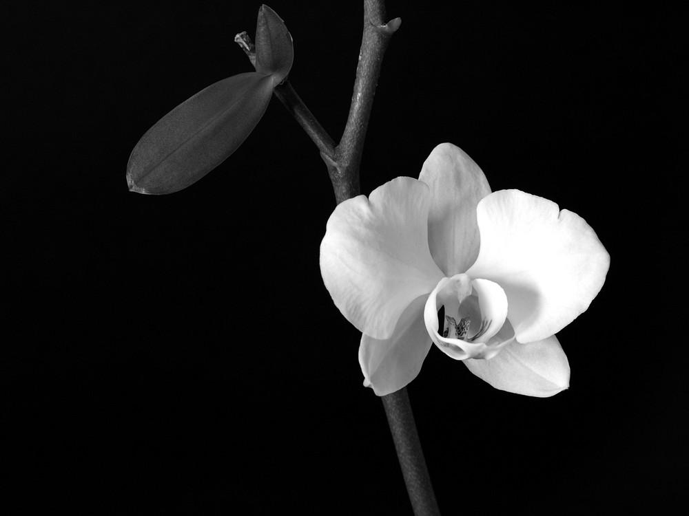Orchidea foto immagini still life fotozen soggetti for Nuovo stelo orchidea