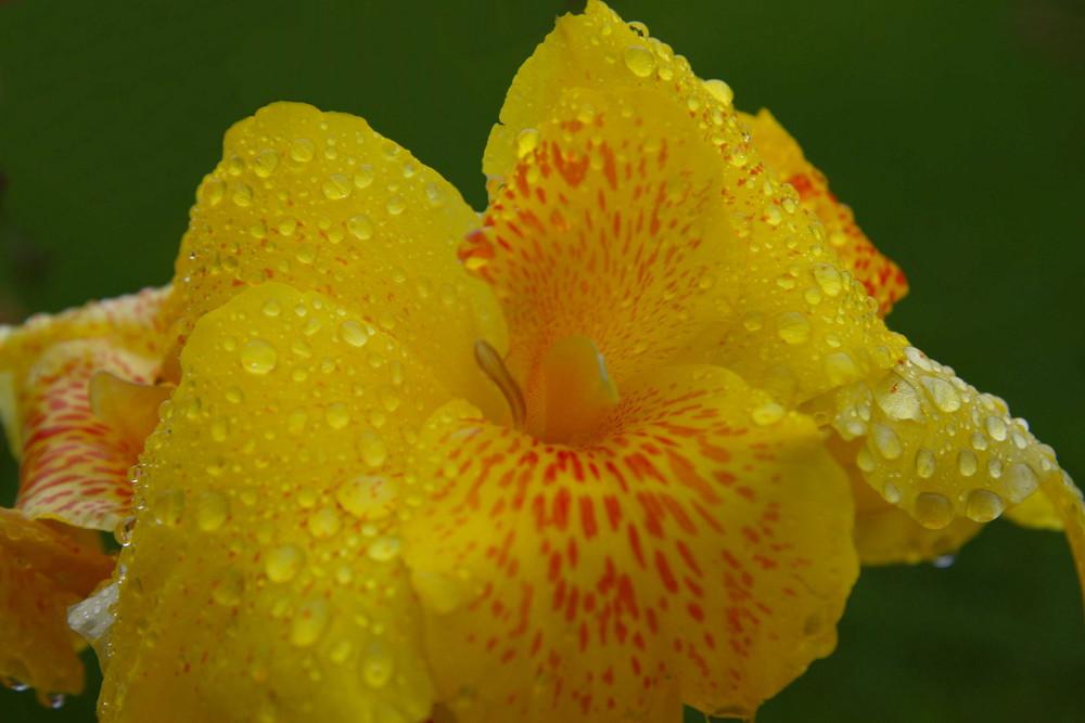 orchidea del mexico