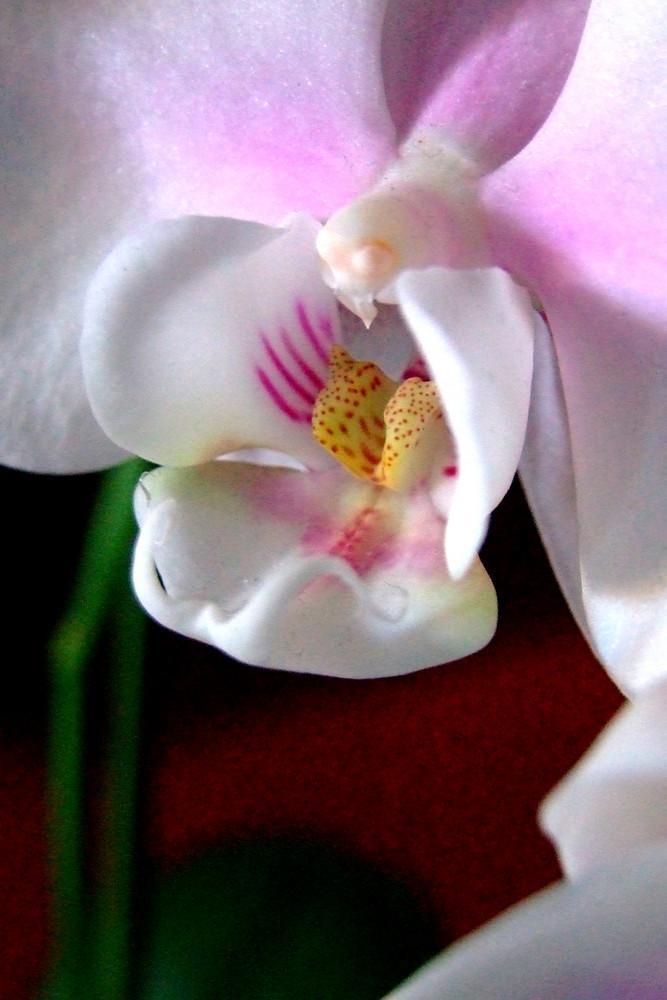 Orchidea d'Inverno