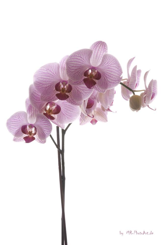 Orchidee 001