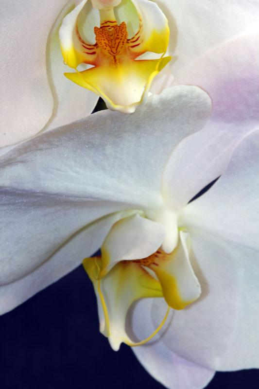 Orchidee 002