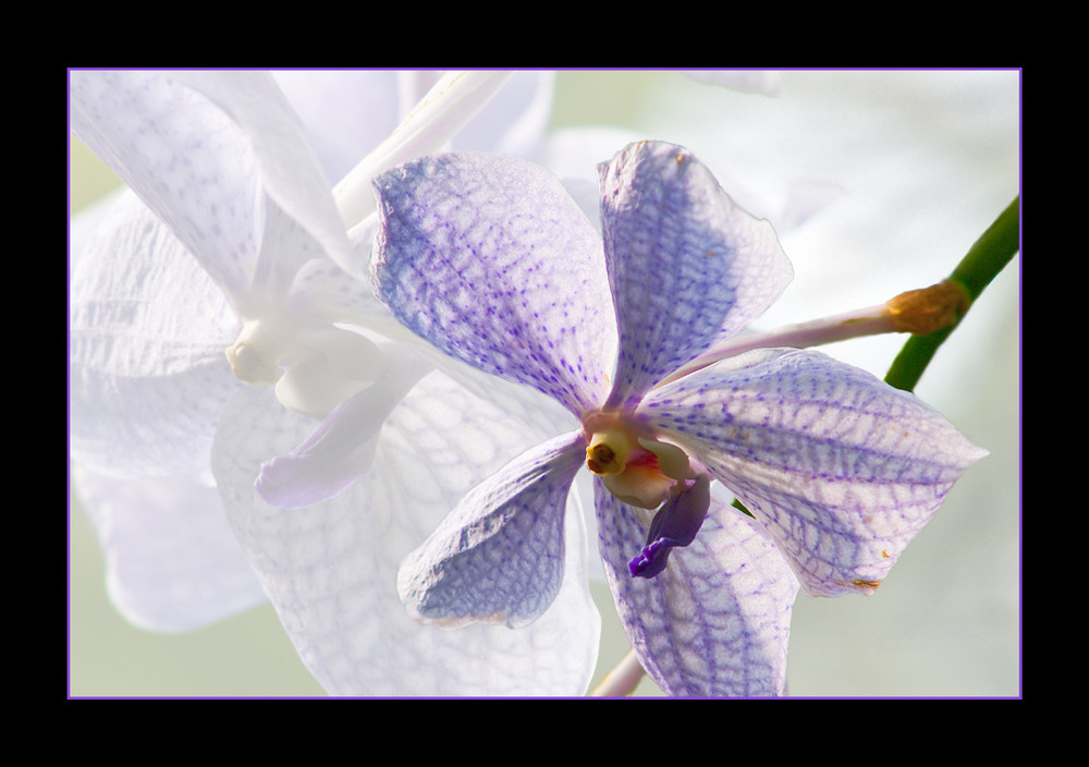 Orchidee #01...