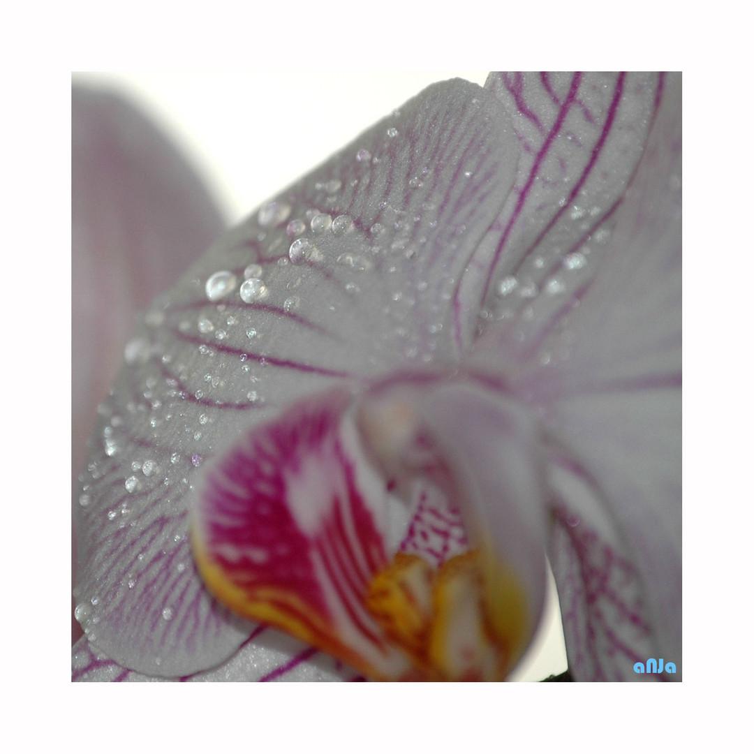 Orchidee (1)