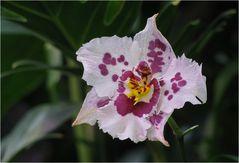 Orchidee 1