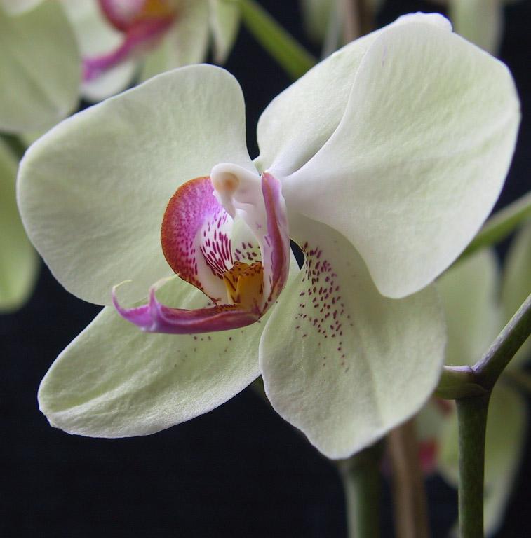 Orchidee 1 (Phalaenopsis)