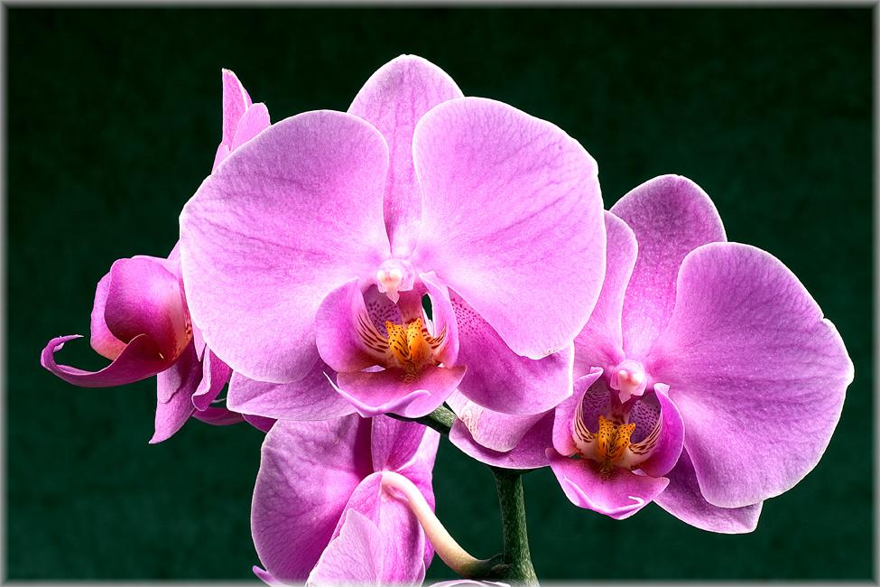 Orchidee #1 (Reloaded)