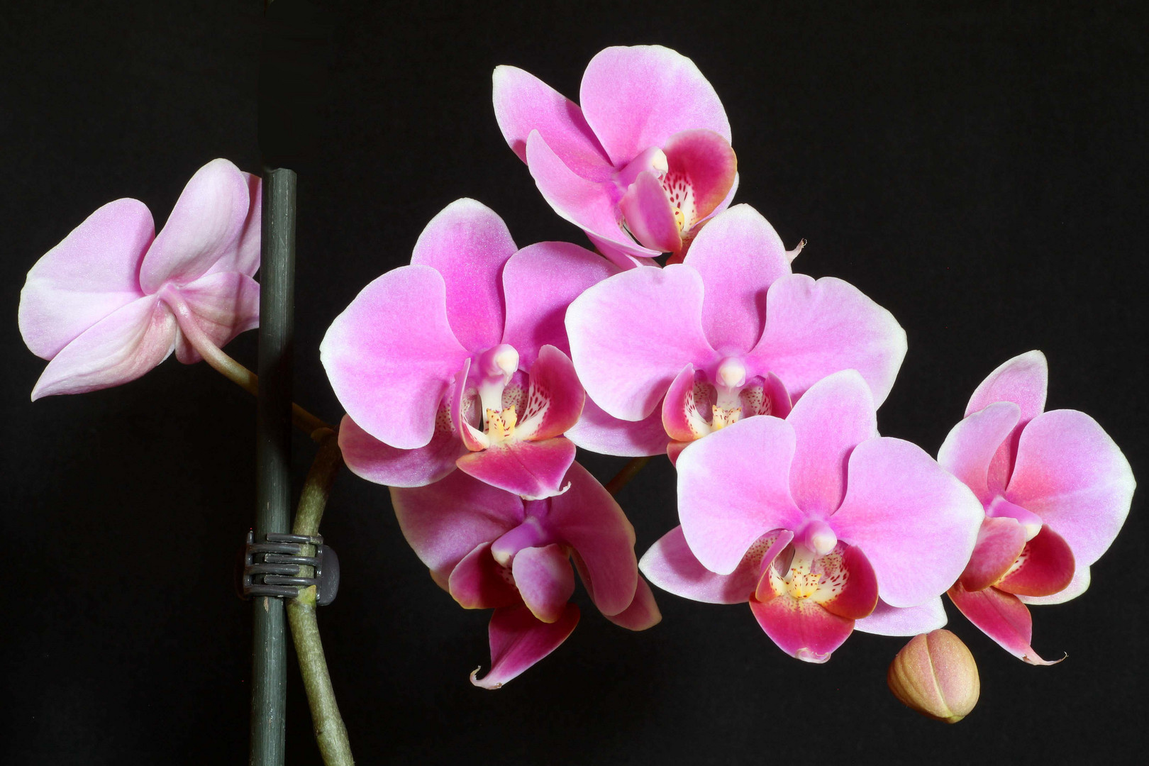 Orchidee (12)
