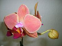 Orchidee 13