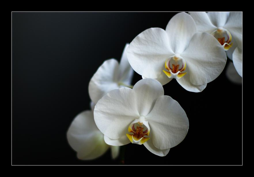...::: orchidee 2 :::...