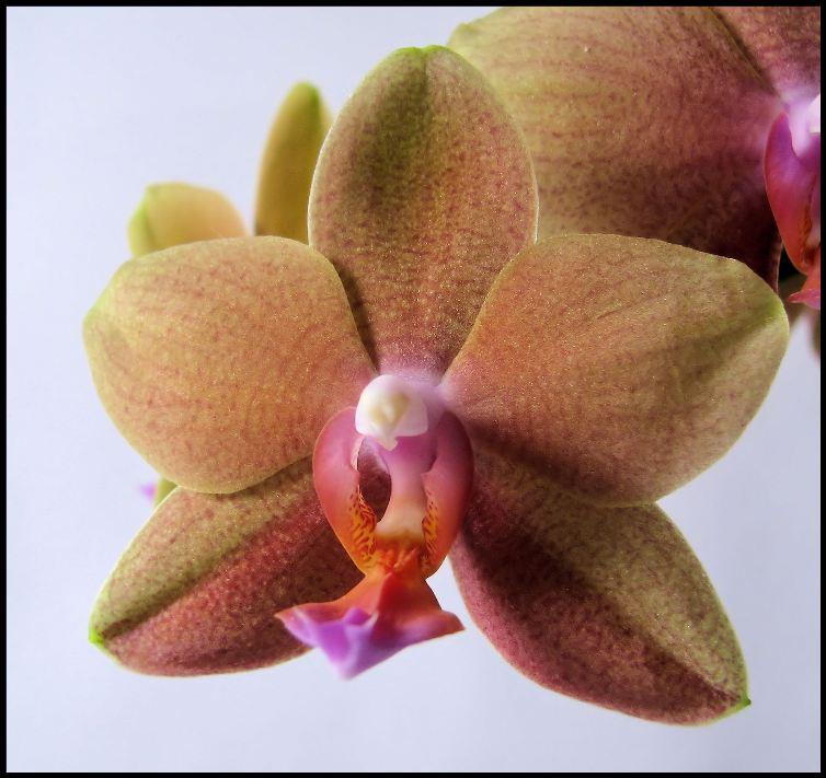 Orchidee #2