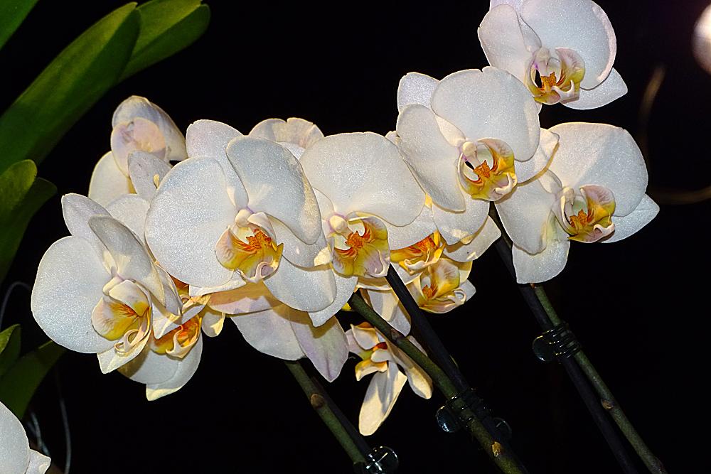 Orchidee 20