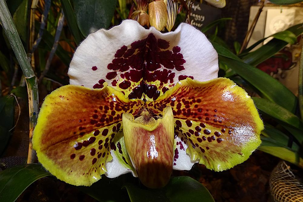 Orchidee-26