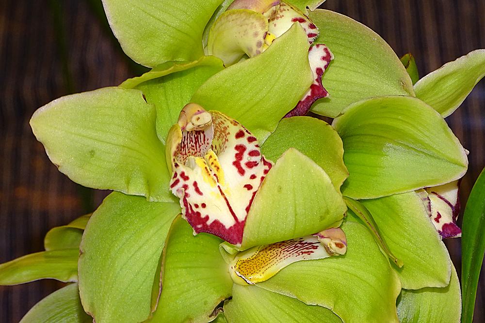 Orchidee-28