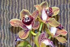 Orchidee-31