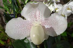 Orchidee-34
