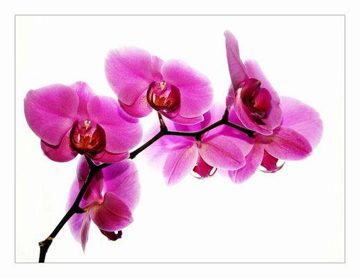 ***Orchidee***