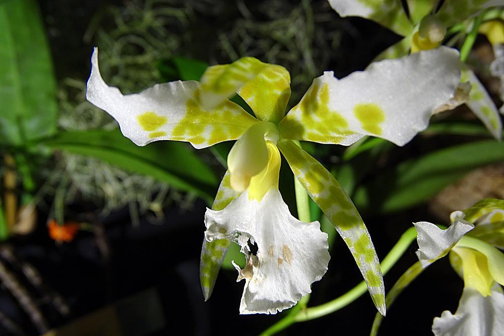 Orchidee-39