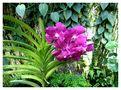 Orchidée de Mahina