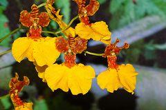 Orchidee-42