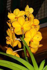 Orchidee-47