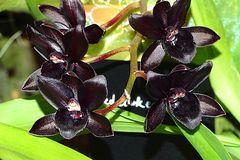Orchidee-52