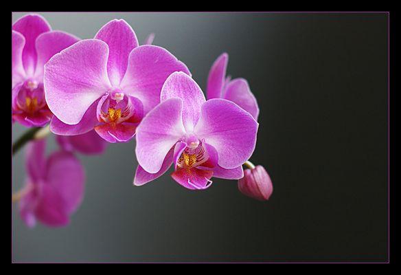 ...::: orchidee :::...