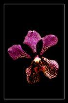 Orchidee ....