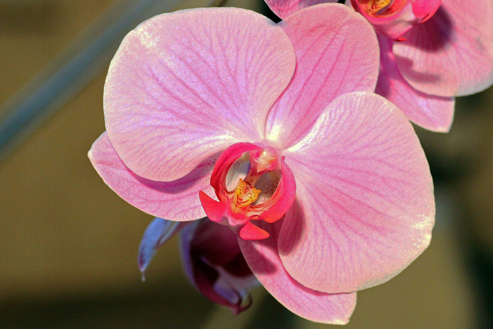 Orchidee (8)