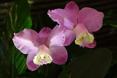Orchidee 8