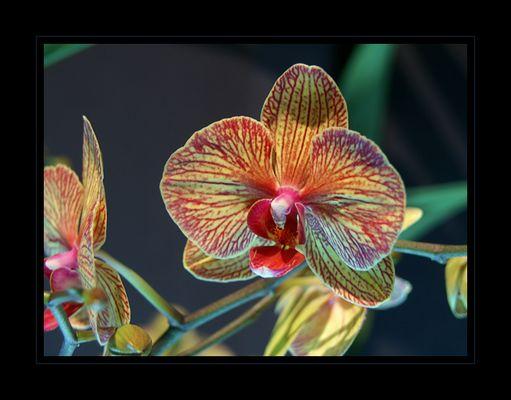 * Orchidee *