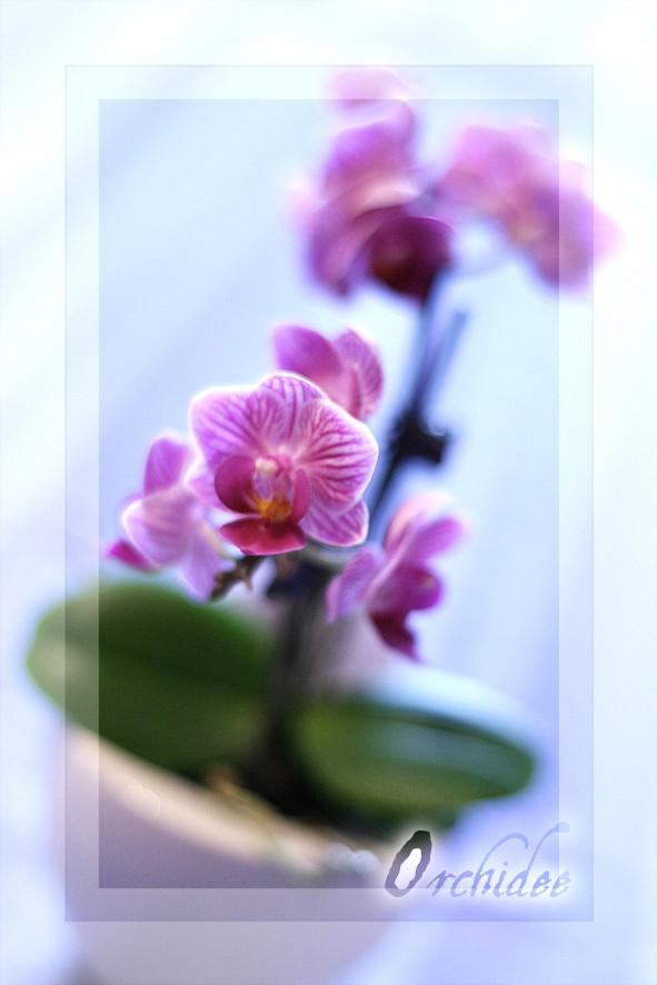 < orchidee >