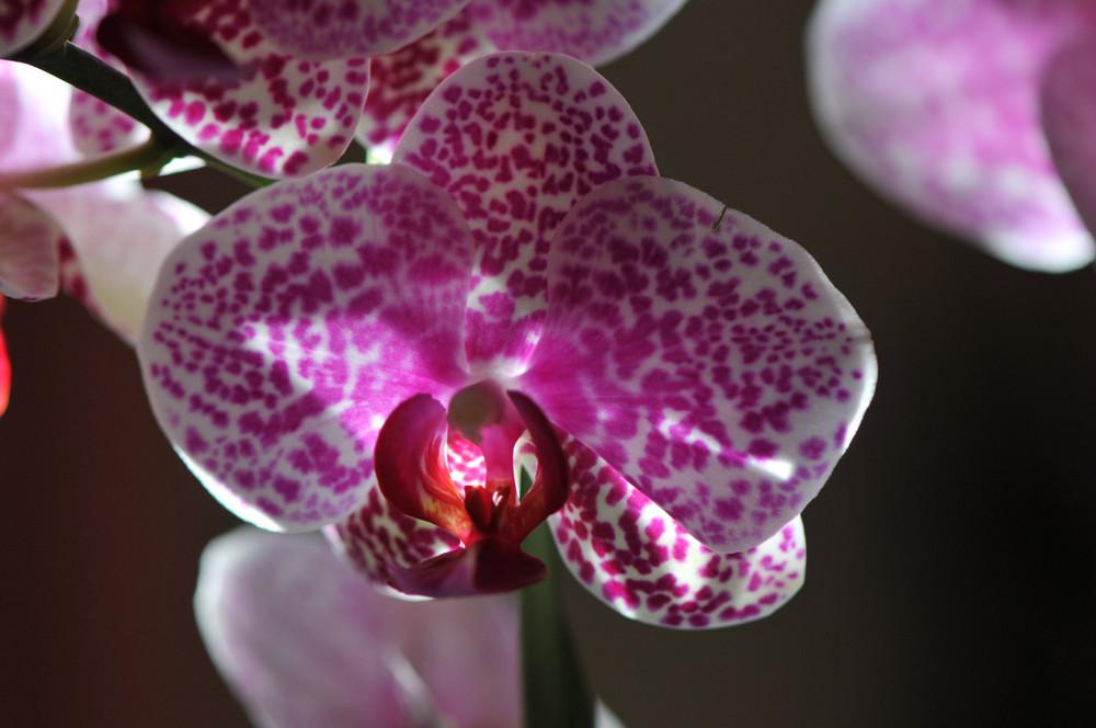 Orchidée