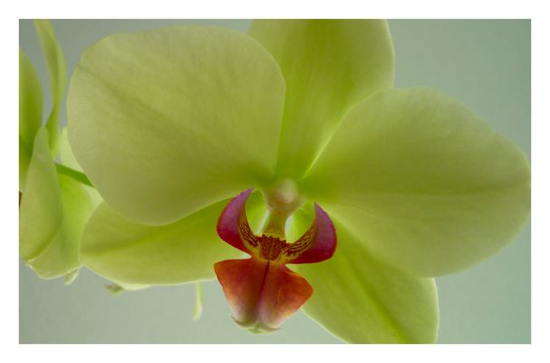 Orchidee an Weihnachten II