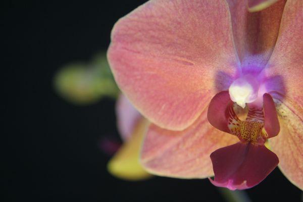 Orchidée Aphrodite