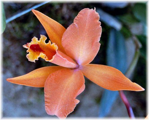 Orchidee apricot