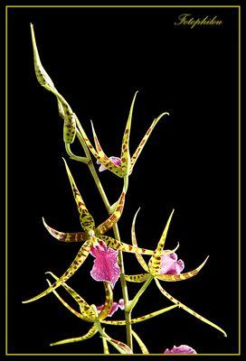 Orchidée araignée (brassia)
