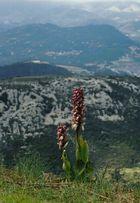 orchidée, arrière pays niçois