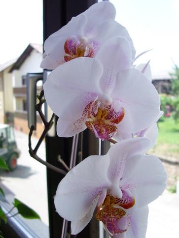 Orchidee auf der Fensterbank