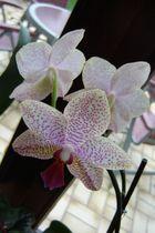 Orchidee auf der Fensterbank ...,